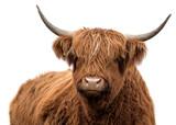 Scottish highland cattle - 194613321