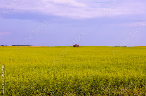 Fotobehang Honing landscape of a yellow green rapeseed field with a red hut