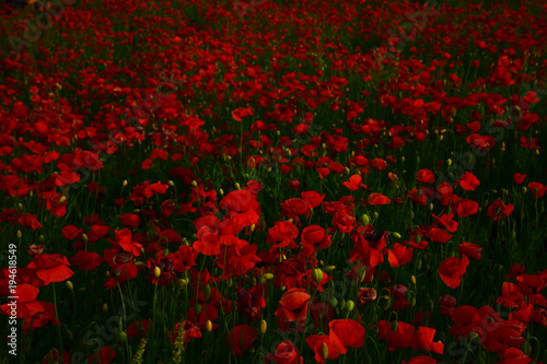 Foto op Canvas Rood paars Poppy - Remembrance Day