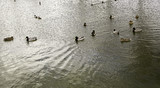 Ducks in pond - 194622711
