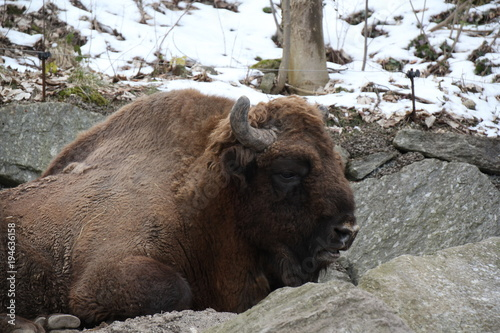 Fotobehang Bison Tier
