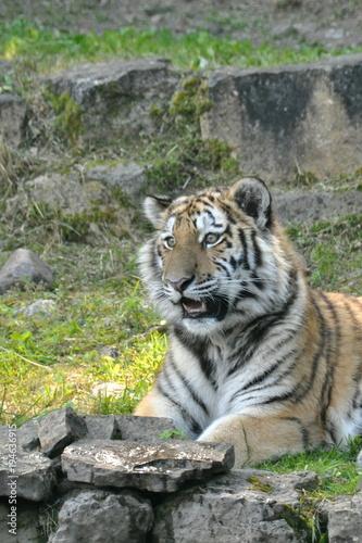Aluminium Tijger Tiger