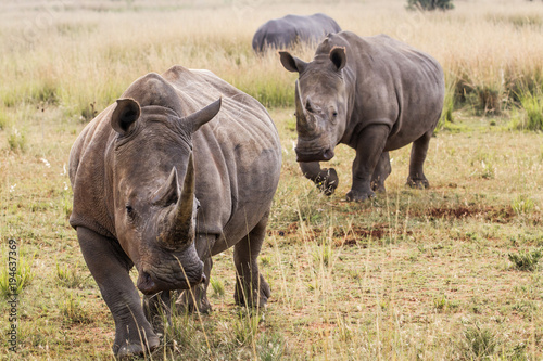 Aluminium Neushoorn White Rhino's in Entabeni Game Reserve in South Africa