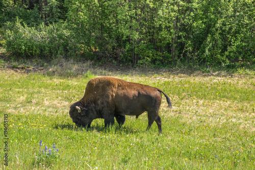 Fotobehang Bison Bison eating Grass