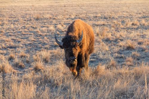 Fotobehang Bison Bison at Rocky Mountain Arsenal, Colorado, USA.
