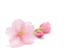 桜 花 春 背景 - 194665160