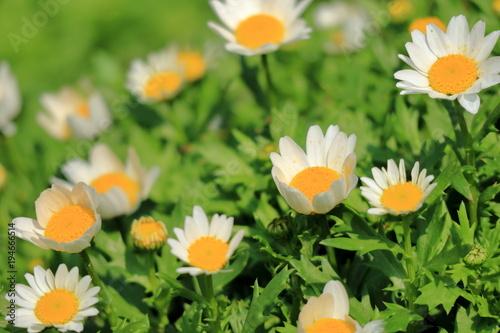 白い花 ノースポール