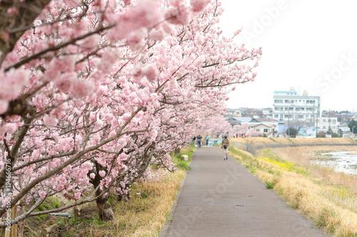 Papiers peints Rose clair / pale 春の桜