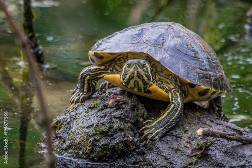 Fotobehang Schildpad Turtle / Trachemys scripta scripta
