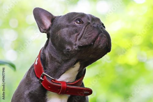 Staande foto Franse bulldog French bulldog