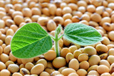 Young soy plant, germinating from soy seeds. Soy agriculture - 194679754