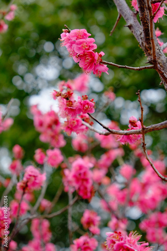 Poster Candy roze 野梅性 赤い梅の花