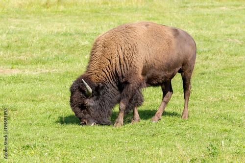 Fotobehang Bison American bison (Bison bison) simply buffalo