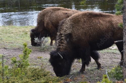 Fotobehang Bison Buffalos in Yellowstone National Park
