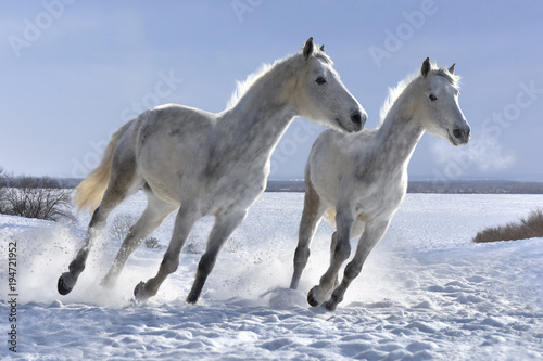 Fotobehang Paarden Winter white horses look great on white snow