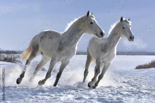 Aluminium Paarden Winter white horses look great on white snow