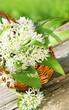 Leinwanddruck Bild - Wild garlic, Bärlauch, Blätter, Blüten, Körbchen, Textraum, copy space