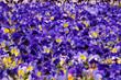 canvas print picture - Shiner, Veilchen, Hornveilchen, viola cornuta, blau, lila, bildfüllend