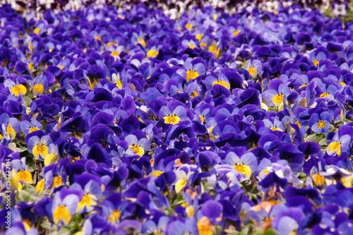 canvas print picture Shiner, Veilchen, Hornveilchen, viola cornuta, blau, lila, bildfüllend
