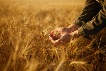 The Hands Of A Farmer Close-up Holding A Handful Of Wheat Grains In A Wheat Field. Copy Space Of The Setting Sun Rays On Horizon In Rural Meadow. Close Up Nature Photo Idea Of A Rich Harvest