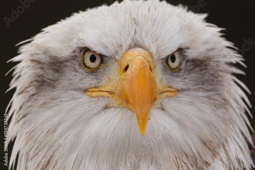 Aluminium Eagle Weisskopfseeadler
