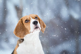Winter Background with cute Beagle dog looking up