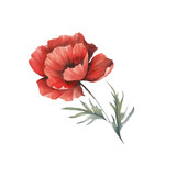 The image of a poppy. Hand draw watercolor illustration. - 194747745