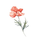 The image of a poppy. Hand draw watercolor illustration. - 194747768