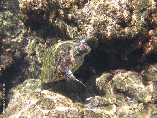 Fotobehang Schildpad Grüne Meeresschildkröte am Tunnels Beach Kauai Hawaii USA