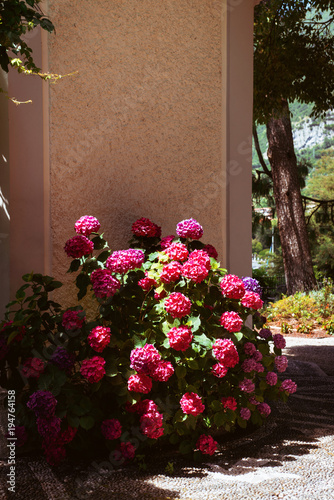 Fotobehang Hydrangea Bush of Hydrangea is pink, blue, lilac, violet, purple flowers are blooming in spring and summer at sunset in city garden in Italy, Lombardy, lake Como
