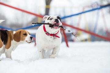 English Bulldog and Beagle dog playing with stick on winter day