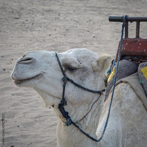 Aluminium Kameel Essaouria, Morocco - September 2017: Essaouria, Morocco - September 2017: White camel at the beach.