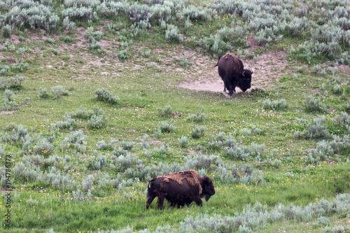 Fotobehang Bison Bison in Yellowstone