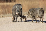 Javelina in Bosque del Apache National Wildlife Refuge, New Mexico - 194788511