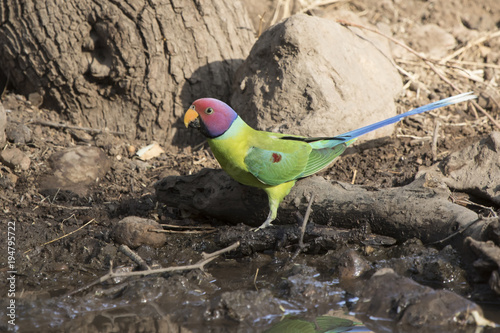 male plum-headed parakeet who flew on a small water body on a winter's day Poster