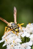 Wespe sammelt Blüten auf Schafgarbe - 194803593