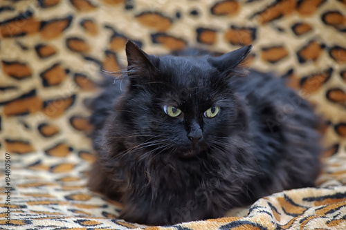 Aluminium Panter black furry cat green-eyed