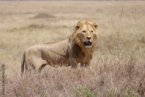 Fotobehang Lion Lion, Serengeti, Tanzania, Africa