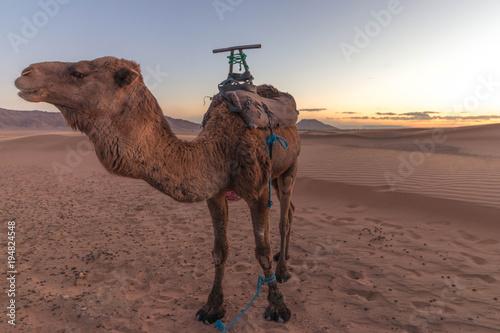 Aluminium Kameel Camel in desert