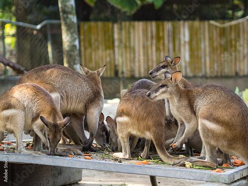 Fotobehang Kuala Lumpur Kangaroo