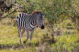 The zebra in the bush. Savannah Masai Mara. Kenya, Africa