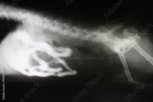 obraz PCV Phase-contrast X-ray image of intestine by pekingese dog