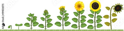 Life cycle of Sunflower. Growth stages from seed to flowering and fruit-bearing plant