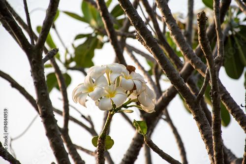 Plexiglas Plumeria The white Plumeria