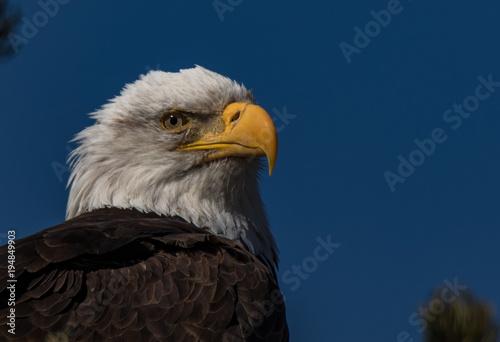 Aluminium Eagle Bald Eagle Close Up