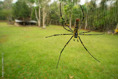 Fotobehang Thailand golden orb web spider giant wood spider Nephila pilipes on web with Dew drop