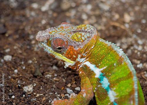 Fotobehang Kameleon Portrait of Colorful Lizard