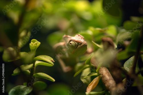 Aluminium Kameleon madagascar chamaleon on a tree background