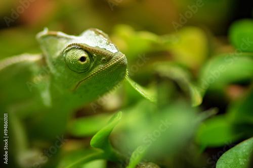 kameleon madagaskar na tle drzewa