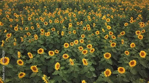 Flying over sunflower field